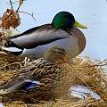 parami ... :) #kaczki #Kłodnica #krzyżówki #przedwiośnie #ptaki #rzeka