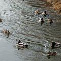 parami ... :)) #kaczki #Kłodnica #krzyżówki #przedwiośnie #ptaki #rzeka