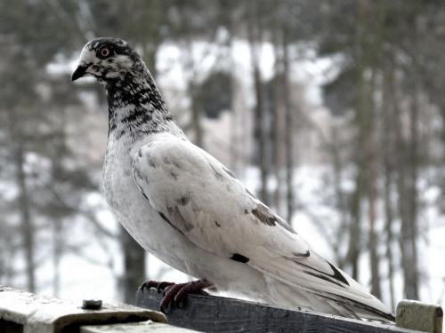 jeszcze długo będą przychodzić ... :) #gołębie #NaBalkonie #przedwiośnie #ptaki