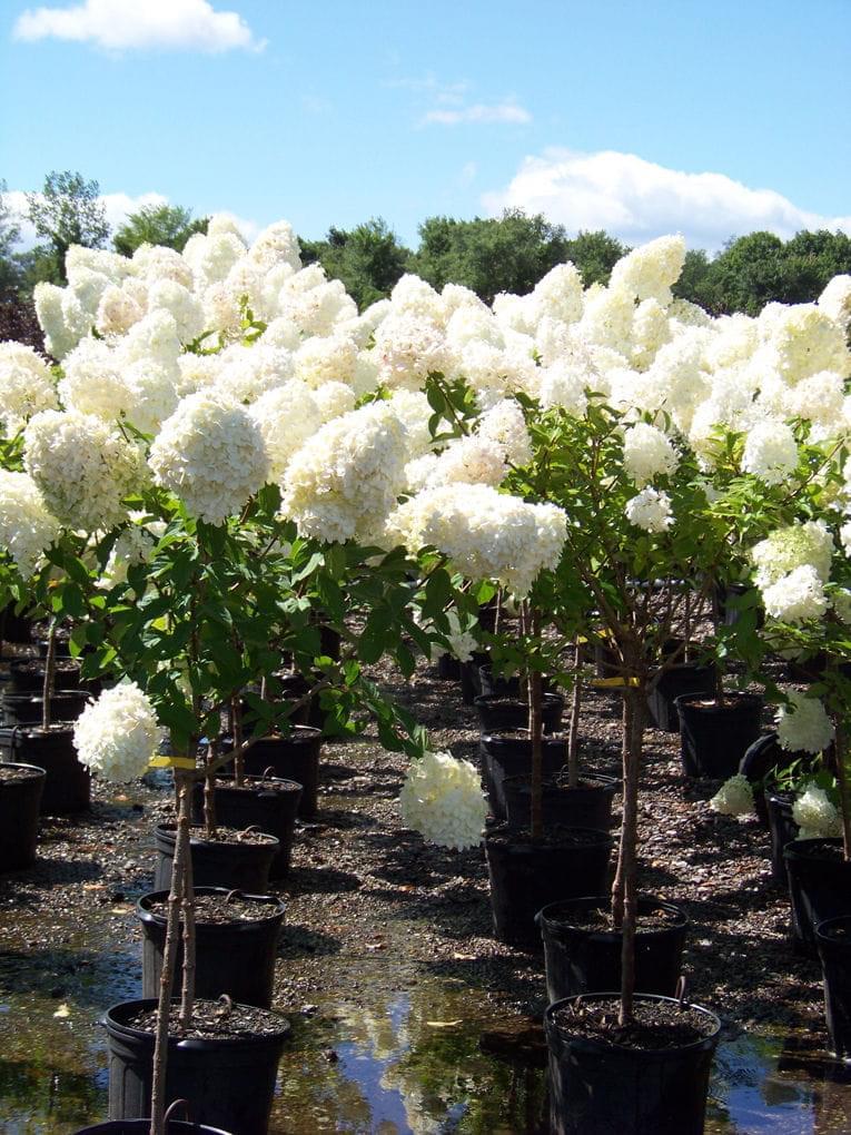 Hortensja bukietowa u0026#39;LIMELIGHTu0026#39; na PNIU Hydrangea paniculata - Internetowy sklep ogrodniczy