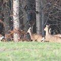 Doe, Deer, Sarna, Sarny #Deer #Doe #Sarna #Sarny