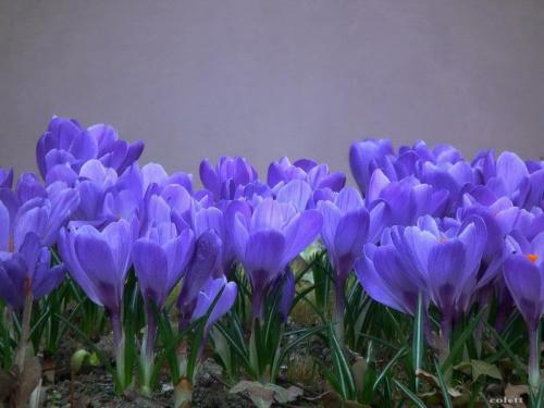 piękno krokusów ... #ptaki #rośliny #wiosna