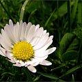 wiosennie ... :)) **** ulub. danusialuban **** #kwiaty #wiosna #stokrotki