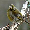 czyżby to już był młody dzwoniec ? #dzwońce #NaBalkonie #ptaki #wiosna