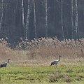#żurawie #ptaki
