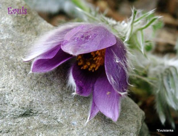 sasanka #Wiosna2012
