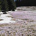 Krokusy, Szafran Spiski #flowers #krokus #kwiatki #saffron #xnifar