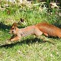 Wiewiórka #animal #squirrel #wiewiórka #xnifar #zwierzęta