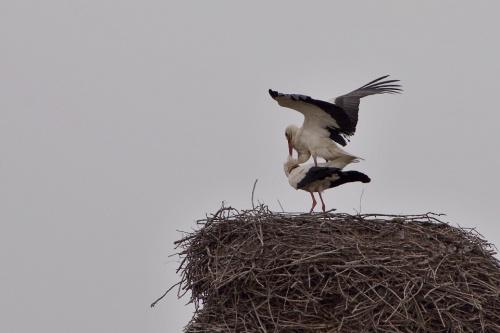 warunki niezbyt zdjęciowe, ale boćki tym nie przejmują się- wiosna..., one muszą zadbać o potomstwo :) #bociany #ptaki