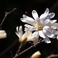 w moim ogródku póki co, to tylko magnolia gwiaździsta cieszy oko ... reszta roślin jeszcze drzemie ... :) #MagnoliaGwiaździsta #magnolie #ogród #wiosna