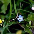 u matuli byłam ... #wiosna #chwasty #łąka #PrzetacznikWiosenny
