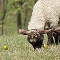 Pliszka i jagnie #animal #bird #jagnie #lamb #pets #Pliszka #ptaki #wagtail #xnifar #zwierzęta