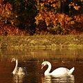 #jesień #łabędzie #ptaki #stawy #Tuplice