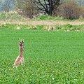 #Chomiąża #jelonek #pola #sarny #wieś #wiosna