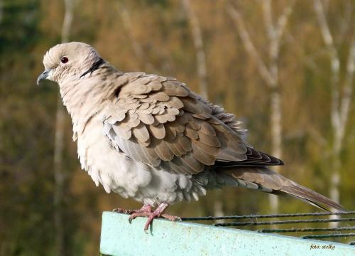 pod balkonem, na akacji jedno siedzi na gnieździe, a drugie pewnie czeka na darmowe żarełko ... :) **** ulub. Izabela888 ****