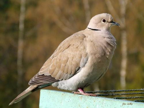 pod balkonem, na akacji jedno siedzi na gnieździe, a drugie pewnie czeka na darmowe żarełko ... :) #cukrówki #gołębie #ptaki #synogarlice #wiosna