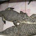 Krokodyle hodowane w wiosce nubijskiej #Asuan #Egipt #Krokodyl #Nubia