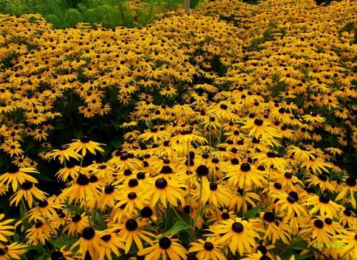 kwiatuszkowo ... :))) #kwiaty #ogród #rudbekie #byliny