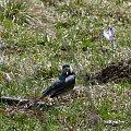 pliszka #czajka #dzwoniec #ptaki #sikorka #szczygieł #szpak