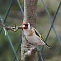 Szczygieł #czajka #dzwoniec #ptaki #sikorka #szczygieł #szpak
