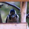 dzięcioł #czajka #dzwoniec #ptaki #sikorka #szczygieł #szpak