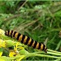 gąsienica marzymłódka proporzec, motyl też tak samo się nazywa, a pokazuje go LADY43 na swojej stronce ... #gąsienice #łąka #przyroda #MarzymłódkaProporzec #StarzecJakubek #chwasty #zielsko