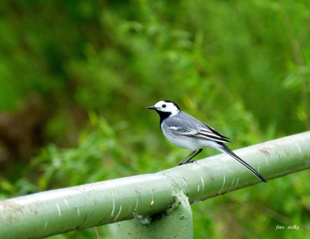 pięknego dnia życzę wszystkim odwiedzającym :) #NaWsi #NadRzeką #pliszka #ptaki #wiosna