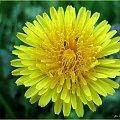 ... na żółto :)) #łąka #mlecze #wiosna