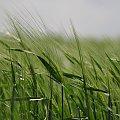 I jeszcze to: zielono mi... :) #maj #pole #zboże