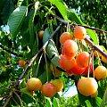 u sąsiada ... #czereśnie #drzewa #owoce #wiosna