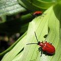 ... wiosenne chrząszczyki ... :))) #chrząszcze #ogród #wiosna