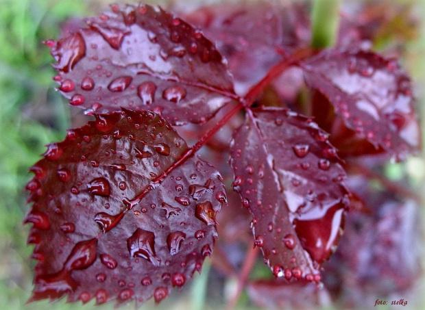 u mnie leje deszcz ... #liście #deszcz #krople #ogród #wiosna