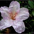 u mnie leje deszcz ... #kwiaty #rododendron #ogród #deszcz #krople #wiosna