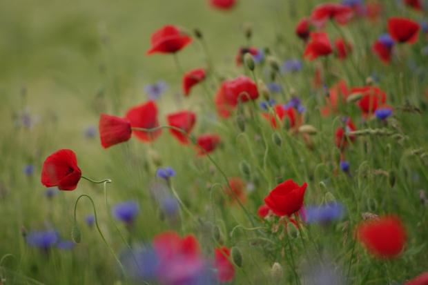 #chabry #KwiatyPolne #maki