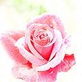 #róża #róże