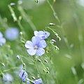 #łąka #len #kwiatek