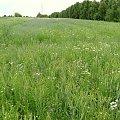 Chabrowe pole #kapliczki #las #modraki #PaprocieLeśne #pole #rzeczka #staw #wieś