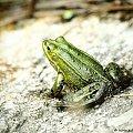 Żaby nad jeziorem Gałęzistym (Wigierski Park Narodowy) #żaba