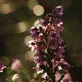 #natura #rośliny #wrzesień #wrzosy