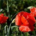 gdzieś ... w polu :) **** ulub. inka47 **** #kwiaty #maki #WPolu #wiosna