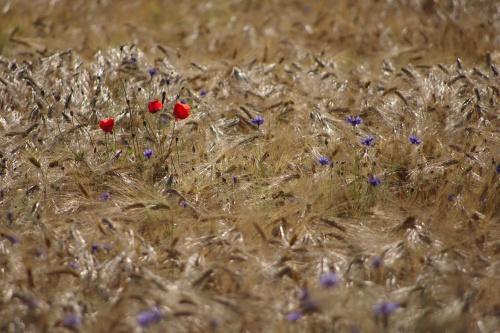 lato... :) #lato #pola #zboże