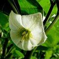 Miechunka #bratek #jukka #krwawnik #lilie #maki #róże