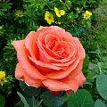 Róża #bratek #jukka #krwawnik #lilie #maki #róże