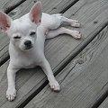 Lula #chihuahua #Etiennette #psy #szczeniaki