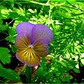 jeszcze sobie jakieś takie niedobitki kwitną w kącie ogrodu ... :)) **** ulub. inka47 **** #bratki #kwiaty #lato #ogród