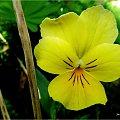 jeszcze sobie jakieś takie niedobitki kwitną w kącie ogrodu ... :)) #bratki #kwiaty #lato #ogród
