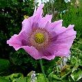 maczki ... :) #kwiaty #lato #maki #ogród