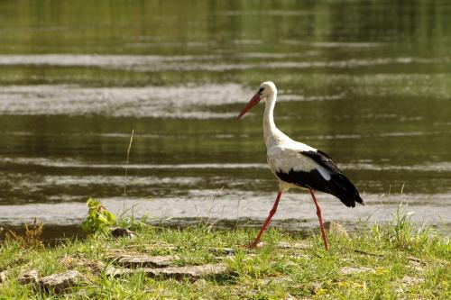 #ptaki #bociany #Odra
