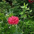 z kwiatuszkowej krainy ... :)) #kwiaty #lato #ogród #maki