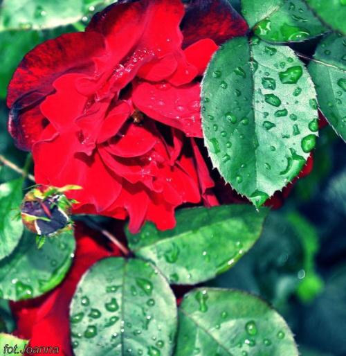 Ach ta róża! ach ta róża! Co się w Twoje okno wdziera, Na pokusy mnie wystawia, Sen i spokój mi odbiera...
